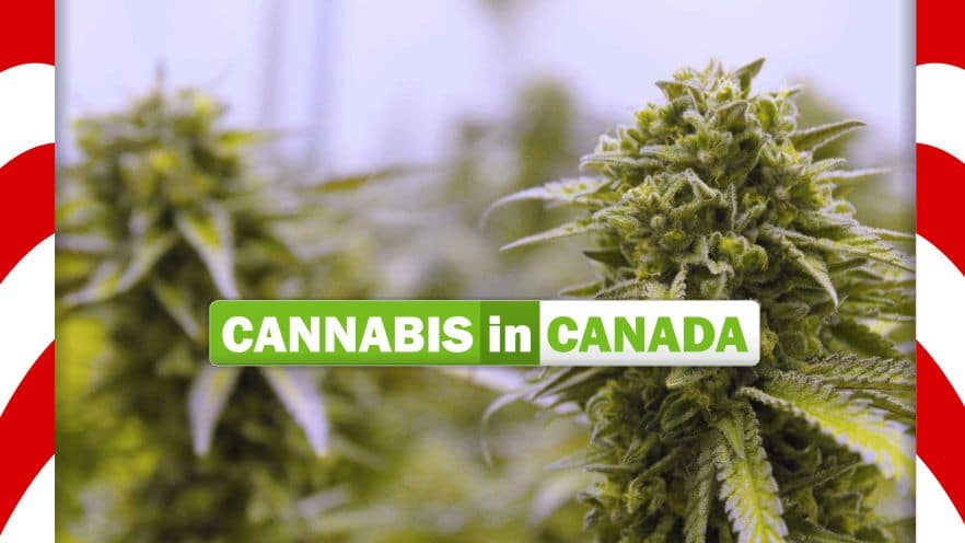decriminalization of cannabis in canada essay In terms of legalization and decriminalization, the canadian government is drawing the line at marijuana despite the legalization of cannabis currently underway in canada, the country will not be decriminalizing any other drugs, according to a government official.