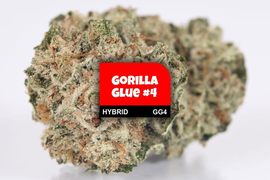 Gorilla Glue Review >> Gorilla Glue 4 Cannabis Strain Profile With Ratings Reviews