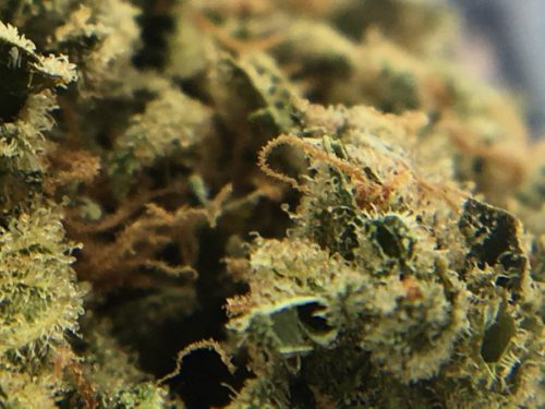 citrus-skunk-strain-review-budem-gallery-4