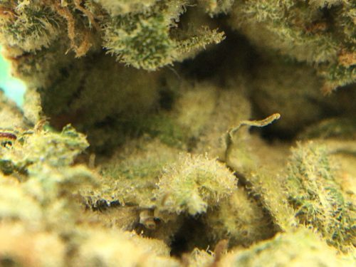 OCD-Strain-Review-Inside-Nug-Macro