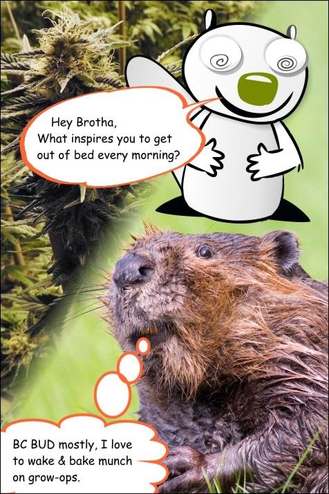 weed-comic-meme-the-chronic-beaver-BC-BUD-wake-and-bake