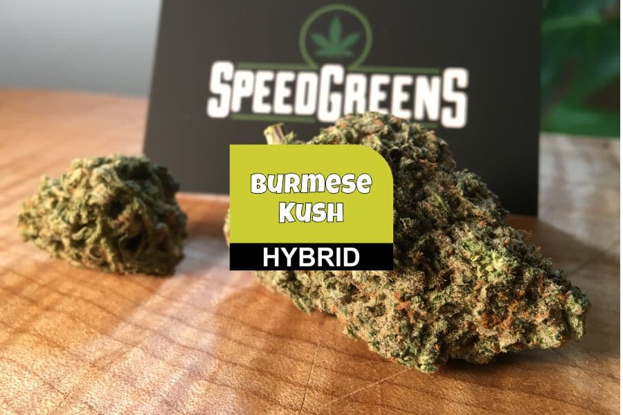 Burmese Kush Cannabis Strain Review & Information