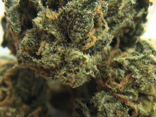 torabora-strain-review-greengod