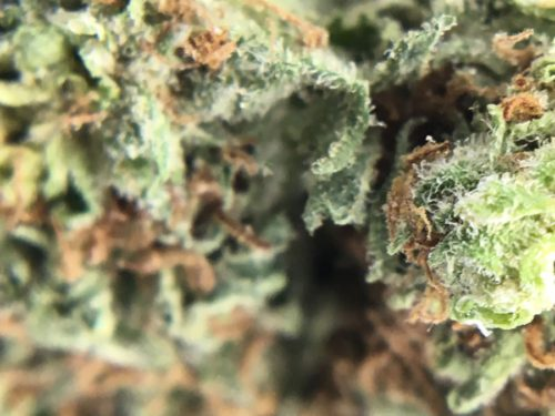 La-Grape-Strain-Review-Image-5