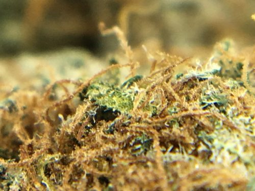 dark-side-of-the-moon-strain-review-image-5