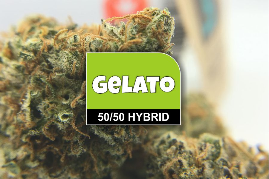 Gelato Strain Review & Ratings